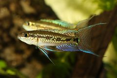 Redfin Dwarf Rainbowfish Aquarium fish Melanotaenia maccullochi royalty free stock photos