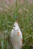 Redfin fish hanging on rod in front of green grass, side view, part of object, selective focus Stock Photos