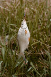 Redfin fish hanging on rod in front of green grass, side view, selective focus Royalty Free Stock Photos