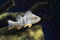 Redfin perch Stock Images