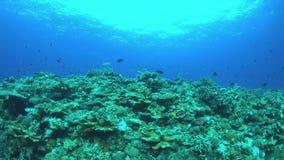 Redfinbraxen på en korallrev 4K stock video