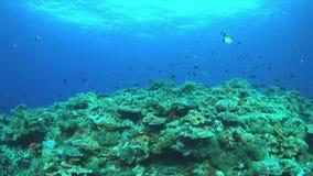 Redfinbraxen på en korallrev 4K lager videofilmer