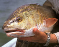 Redfish Royalty Free Stock Photo