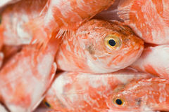 Redfish Stock Photo