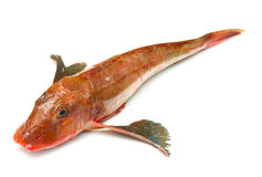 Redfish Royalty Free Stock Photos