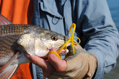 Fisherman holding redfish by the water Royalty Free Stock Photography