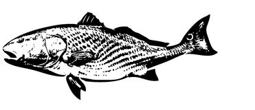 Redfish fish vector. A saltwater predatory fish well responding to artificial lures Royalty Free Stock Image