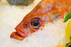 Redfish on ice Stock Image