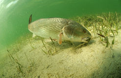 Redfish in ocean. Redfish fish swimming in ocean off of the florida coast Royalty Free Stock Images