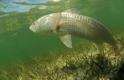 Redfish is swimming in the grass flats ocean. In its natural habitat, a redfish is swimming in the grass flats ocean stock photography