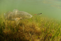 Redfish w oceanu cyzelatorstwa nęceniu Obraz Stock