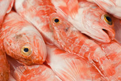 Redfishes. Group of redfish displayed in a fish market in italy Stock Photography