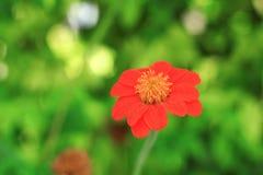Redflower макроса Стоковое Изображение