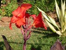 RedFlower Imagem de Stock