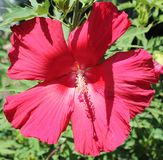 RedFlower. Red Flower - Such a beauty Royalty Free Stock Photo