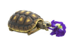 Redfoot Tortoise eating flower Royalty Free Stock Photo