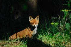 Redfox, cup Royalty Free Stock Photography