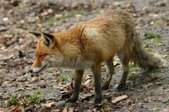 Redfox Royalty Free Stock Images
