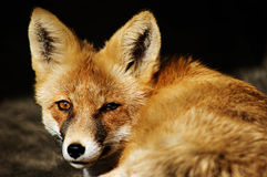 RedFox (Vulpesvulpes) Royaltyfri Bild