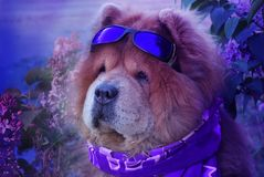 Redhaired beautiful dog in a violet scarf and ultraviolet glasses