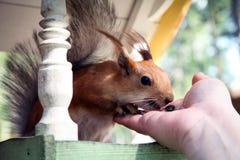 Redhead δασικός σκίουρος που τρώει από το χέρι σε μια γούρνα σίτισης Στοκ εικόνα με δικαίωμα ελεύθερης χρήσης