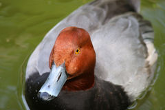 Redhead κολυμπώντας πάπιες παπιών παπιών αρσενικές Στοκ Φωτογραφία