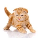 Redhead σκωτσέζικο πορτρέτο γατών Στοκ εικόνες με δικαίωμα ελεύθερης χρήσης
