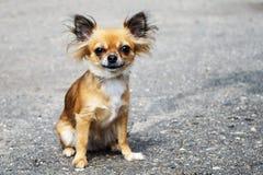 Redhead συνεδρίαση Chihuahua στο πεζοδρόμιο στοκ φωτογραφία με δικαίωμα ελεύθερης χρήσης