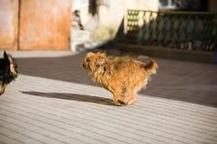 Redhead, τριχωτό σκυλί που τρέχει στην οδό για το μαύρο σκυλί στοκ εικόνα με δικαίωμα ελεύθερης χρήσης