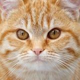 Redhead χνουδωτός στενός επάνω προσώπου γατακιών στοκ φωτογραφία