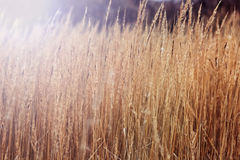 Redhead χλόη τομέων φθινοπώρου στοκ εικόνες