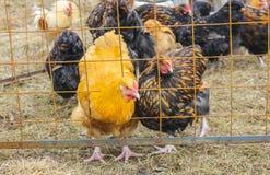 Redhead и запятнанная курица, смотря вне от за решеткой Курица Стоковые Изображения RF