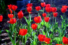 Redhead Beauties. Small field of Red Tulips Royalty Free Stock Photos