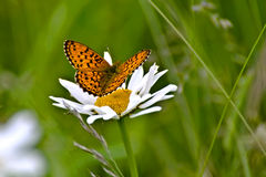 Redhead butterfly on white camomile Stock Photography