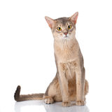 Redhead cat abyssyn siting front isolatet on white Royalty Free Stock Images