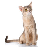 Redhead cat abyssyn siting front isolatet on white Royalty Free Stock Photography