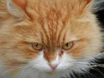 Redhead cat. Head of a beautiful red cat Stock Photography