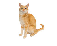 Redhead cat isolated Stock Images