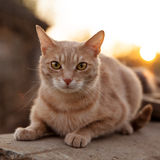 Redhead cat lies and stares at us Royalty Free Stock Photography