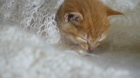 Redhead cat little kitten asleep wrapped in knitted shawl downy video stock footage