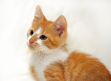 Redhead cat looking Royalty Free Stock Photography
