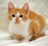 Redhead cat looking Royalty Free Stock Photos
