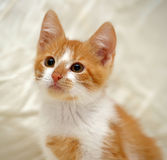 Redhead cat looking Stock Photography