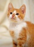 Redhead cat looking Stock Image