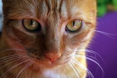 Redhead cat. Portrait of redhead cat Mishu Royalty Free Stock Photography