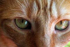 Redhead cat. Portrait of redhead cat Mishu Stock Photo