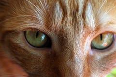 Redhead cat. Portrait of redhead cat Mishu stock photo