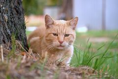 Beautiful redhead cat next to a tree, closeup royalty free stock images