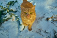 Redhead cat sitting in the snow on a footpath in the country stock photo