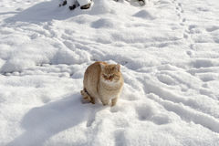 Redhead cat in the snow Stock Photos